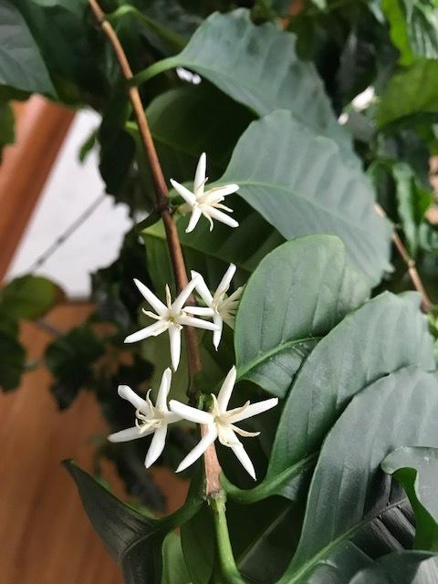 コーヒーの花。.jpeg