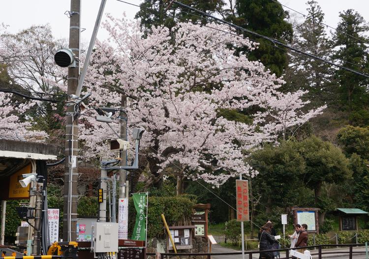 北鎌倉のソメイヨシノ.jpg