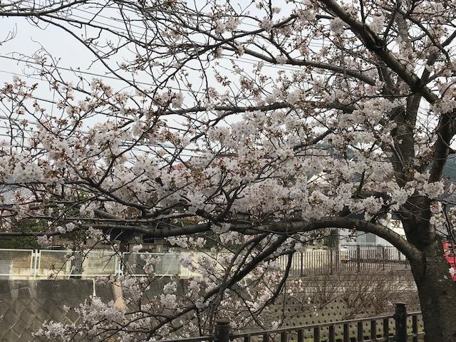 桜4.jpeg
