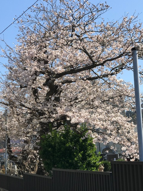 桜8.jpeg