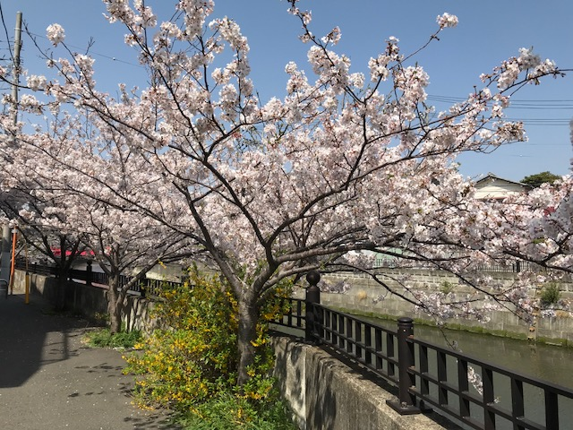 満開の桜 1.jpeg