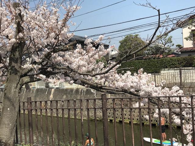 満開の桜 3.jpeg