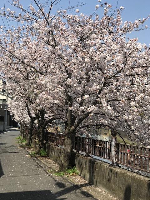 満開の桜 4.jpeg