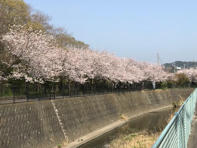 満開の桜 5.jpeg