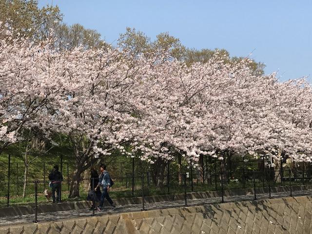 満開の桜 6.jpeg
