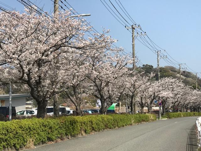 満開の桜 7.jpeg