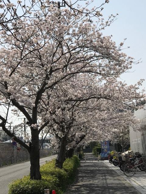 満開の桜 8.jpeg
