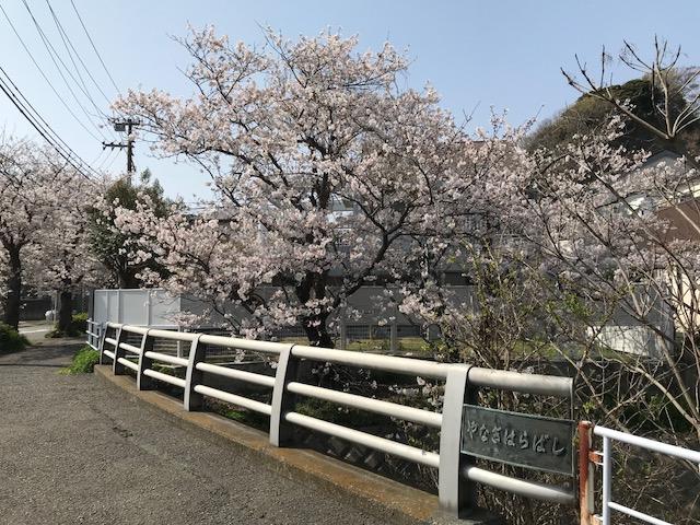 満開の桜 9.jpeg