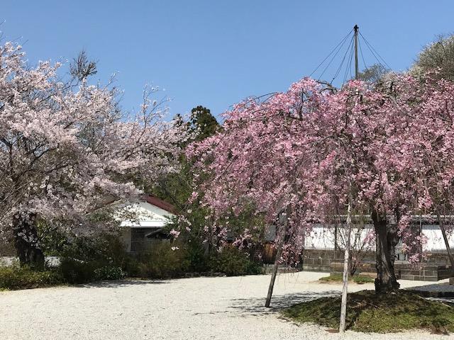 雲頂庵のしだれ桜 2.jpeg