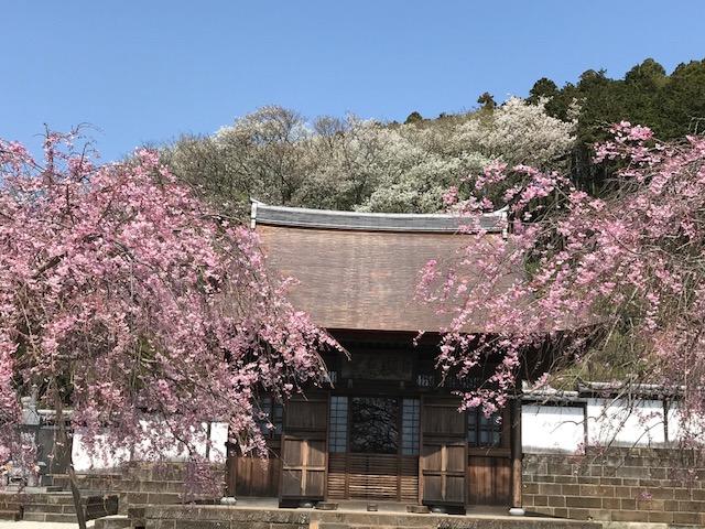雲頂庵のしだれ桜 3.jpeg