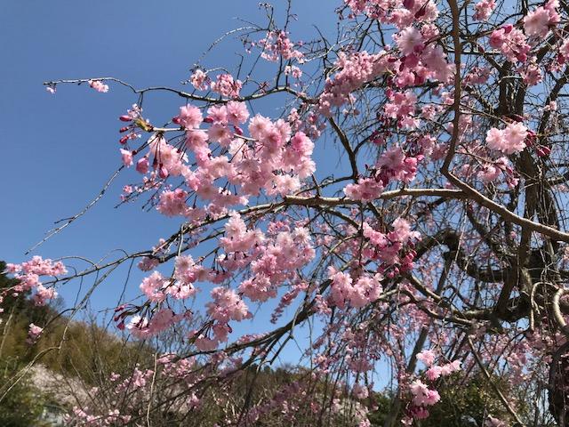 雲頂庵のしだれ桜 4.jpeg