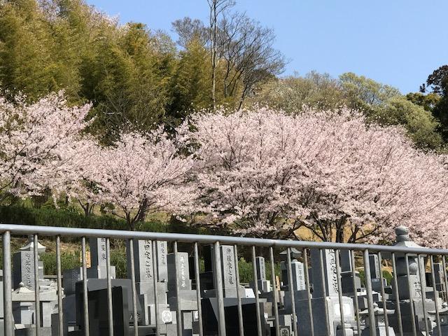 雲頂庵の桜 2.jpeg